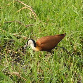 The birdlife is surprising and plentiful, including African Jacanas...
