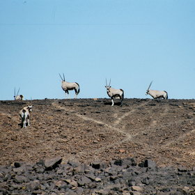 ...where you may spot the oryx (gemsbok)...