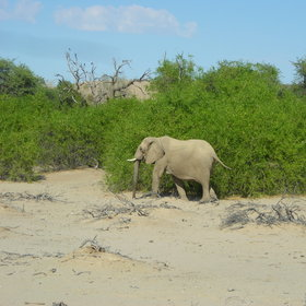 ...including the desert-adapted elephant.