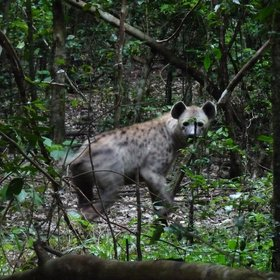 We saw this ghostly, spotted hyena, deep in the forest, but the woods are not their natural habitat.