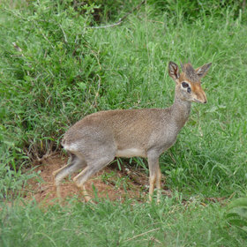 …and small (dik dik) is *everywhere*.