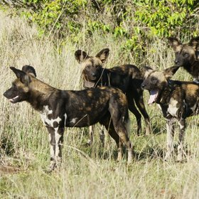 …on the trail of wild dogs.
