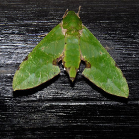 …and the visitors, like this stunning hawk moth, can be quite unexpected.