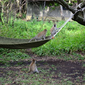 ... or even cheeky monkeys who like to play around the tents.