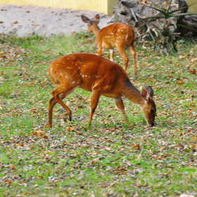 ...as well as the many bushbuck...
