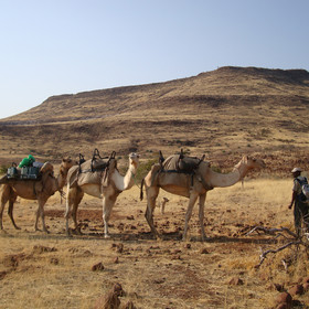 Camel patrols are used to measure the desert rhino populations.