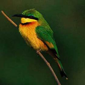 Little bee-eaters hawk for insects from a perch