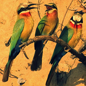 White-fronted bee-eaters brighten the branches in Southern Tanzania.