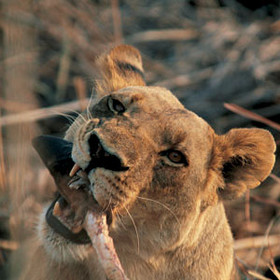 Nature, red in tooth and claw - a lioness in Selinda Reserve, Botswana