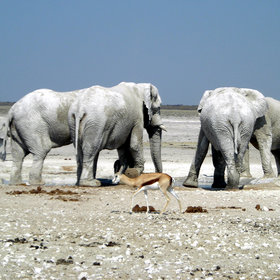 Elephants often dig for water below the sand, which is taken advantage of by other animals.