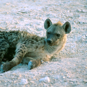 Etosha has a strong population of hyena throughout the park ...