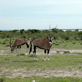 ...where other antelope are found - like gemsbok...