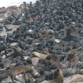 The rich waters around Cape Cross support huge numbers of seals,