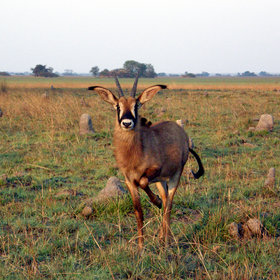 Including the wide-open Busanga Plains area, where you find rare roan antelope ...