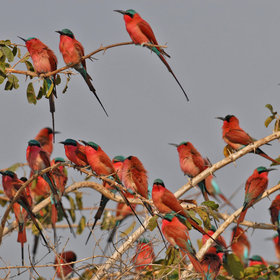 ... or breeding flocks of stunning carmine bee-eaters.