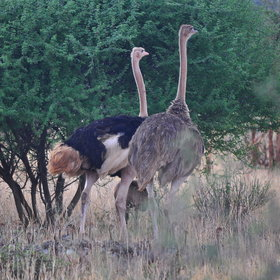 …and ostrich, the world's biggest bird.