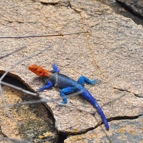 …including brilliant rock agama lizards.