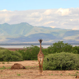 Lake Manyara covers about 330km², of which two-thirds is usually underwater…