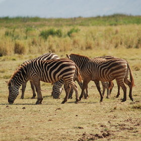 …and plenty of Zebra.