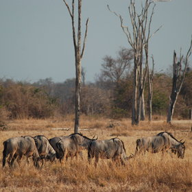… herds of wildebeest…