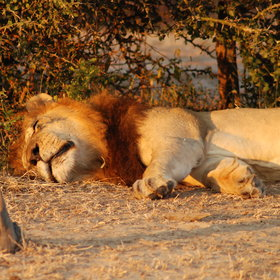You are also very likely to see lion enjoying the afternoon sun.
