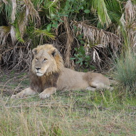 Lions are fairly common; a  good guide will give you real insights into their behaviour.