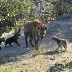 Another common large predator, also very social, is the spotted hyena ...