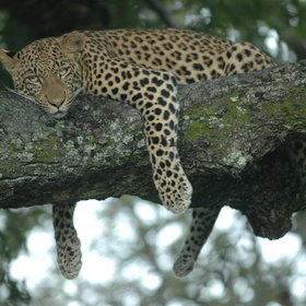 Dense, shady riverine forest is the ideal habitat for Botswana's many leopards