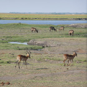... and is dominated by the Chobe River, which is popular with herds of animals, and people.