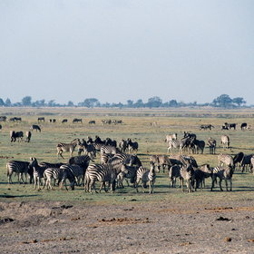 ... can get you close to the riverfront's large herds of zebra, buffalo, sable...