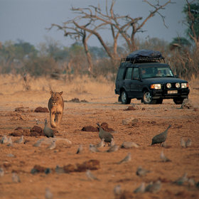 Lots of the game at Savuti is transient, but large prides of lion are permanent residents here ...
