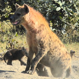 ... as are some exceedingly large packs of spotted hyena.