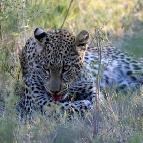 ... whilst leopards prefer the deep shade of patches of riparian forests.