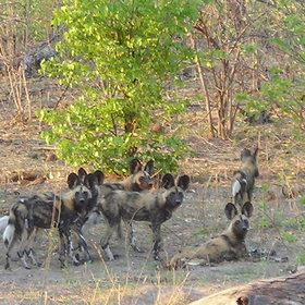 ... whilst wild dogs often prefer to stay near their dens, hidden away in the undergrowth.