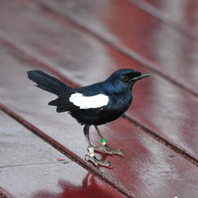 ...and you may even spot a magpie-robin...