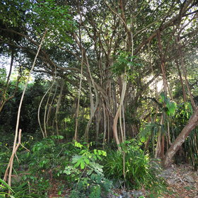 ...lush Banyan Tree forests...
