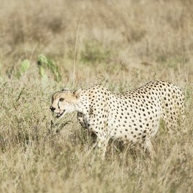 …but leopards are hard to spot. Cheetahs, like this pregnant female, favour the open plains.