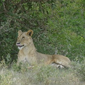 Tsavo East's maneless lions can frequently be seen…