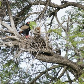 …including extraordinary birdlife, such as this Bateleur and its oversized chick…