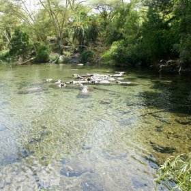 Tsavo West's most remarkable attraction is Mzima Springs…