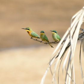 …to the little bee-eater, a trio of which is shown here over the river at Galdessa.