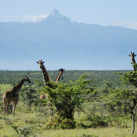 Reticulated giraffe on El Karama Ranch, with Mount Kenya rising behind.