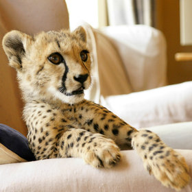 …occasionally in unlikely places (cheetah orphans are often raised by residents).