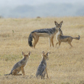 The smaller wildlife is much in evidence all across the region. Jackals are common…