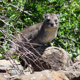 …hyraxes seen at many lodges…
