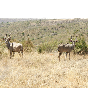 Magnificent greater kudu are a regular sight in many areas.