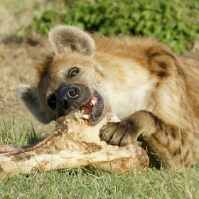 Private game-viewing (this hyena was in Mara North) is the hallmark of the conservancies.