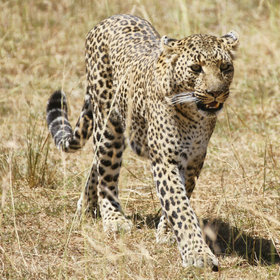 Leopards too, at one time rarely seen in the Mara region…