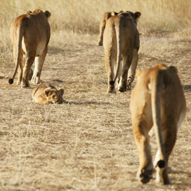 The Mara's lion prides total around 400 cats, of which perhaps 200 are in the reserve.