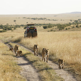 Inside the reserve, there are often other vehicles around the lions…